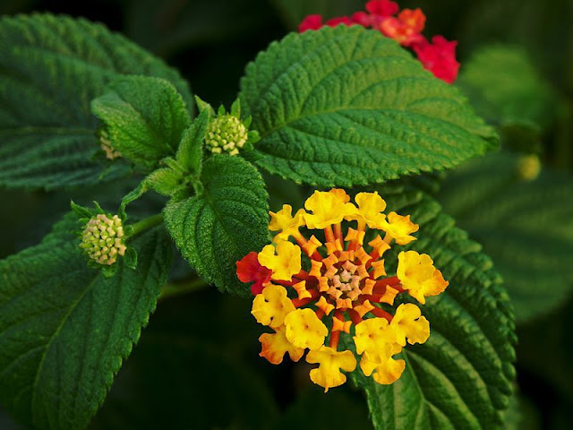 Hoa và lá Bông Ổi - Lantana camara - Nguyên liệu làm thuốc Đắp vết thương Rắn Rết cắn