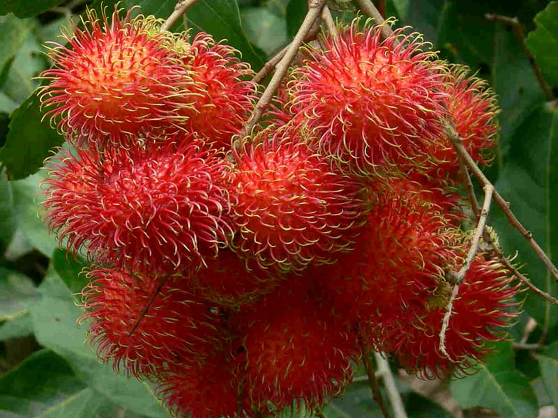 Rambutan (Nephelium lappaceum) fruit image