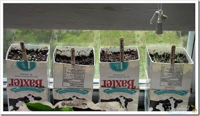 Started an herb garden in milk cartons