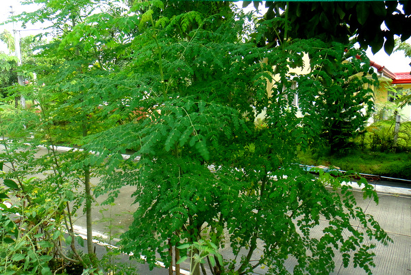 malunggay halamang gamot sa eczema