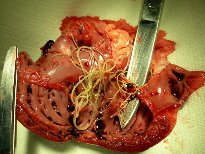 vierme pulmonare