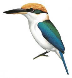 Todiramphus pelewensis