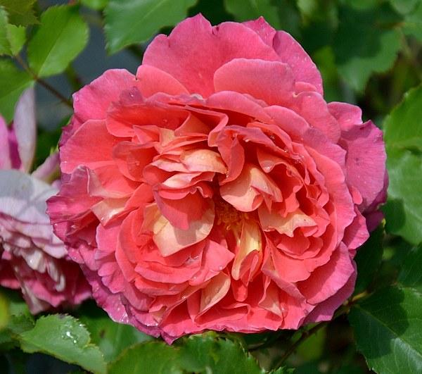 Reine Sammut роза сорт фото