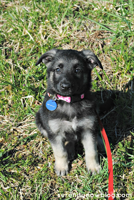 German Shepherd Puppy, from Serenity Now