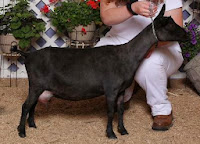 Reference Nigerian Dwarf Goat dam