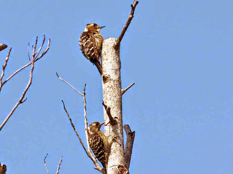pair of woodpeckers in tree