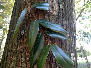 Guayadin de Manzales – lafoensia acuminata colombia andes tree arbol leaves bark
