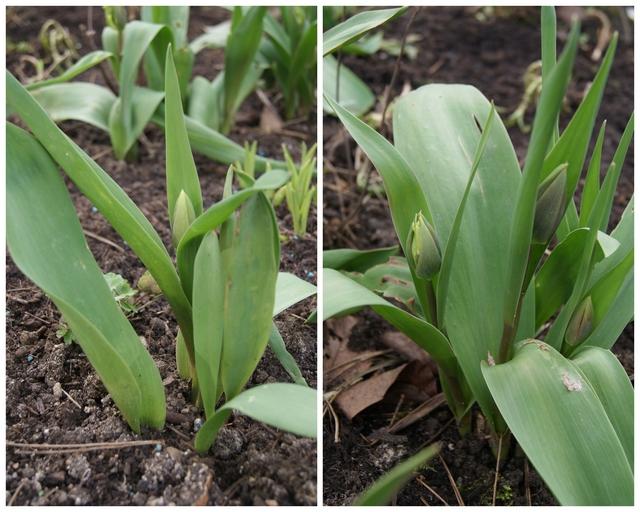 Tulpen mit und ohne Blüten Ende März