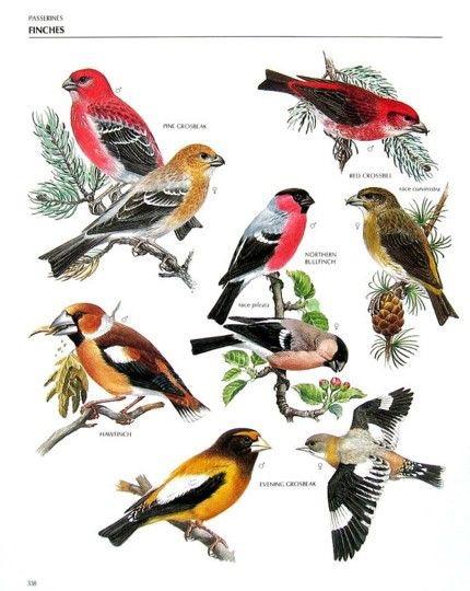 Pássaros | Ornitologia