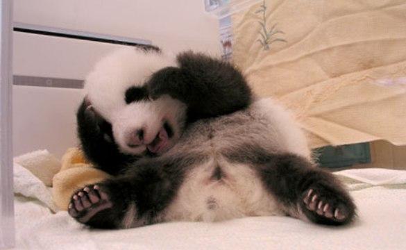 Cute Baby Panda Pics: Free Wallpapers: Cute Baby Panda Pictures