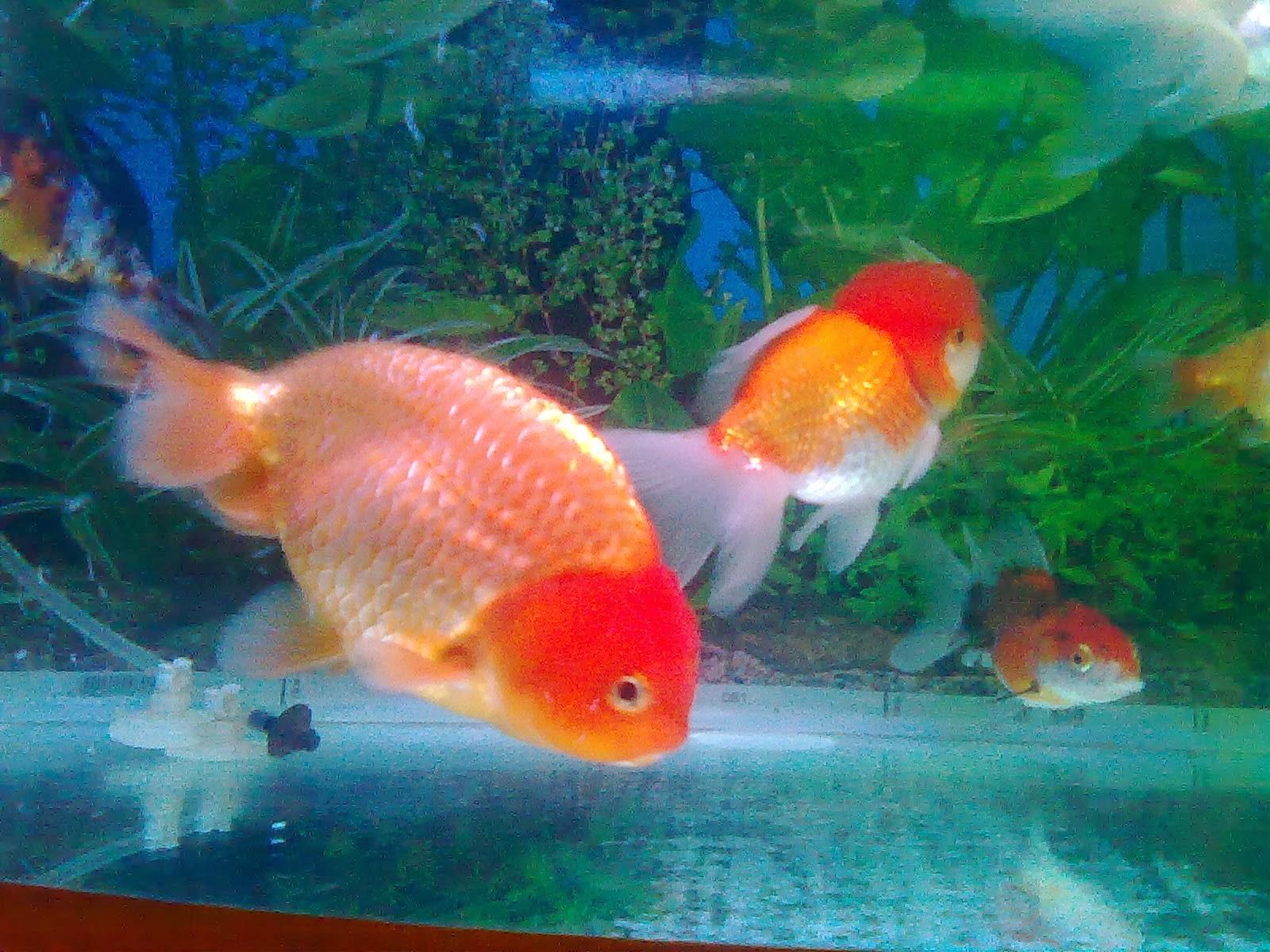 gambar ikan koki untuk diwarnai