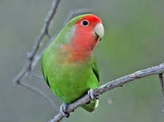 ciri fisik lovebird ngekek panjang,cara merawat lovebird biar ngekek panjang,lovebird ngekek panjang dijual,pakan lovebird terbaik,