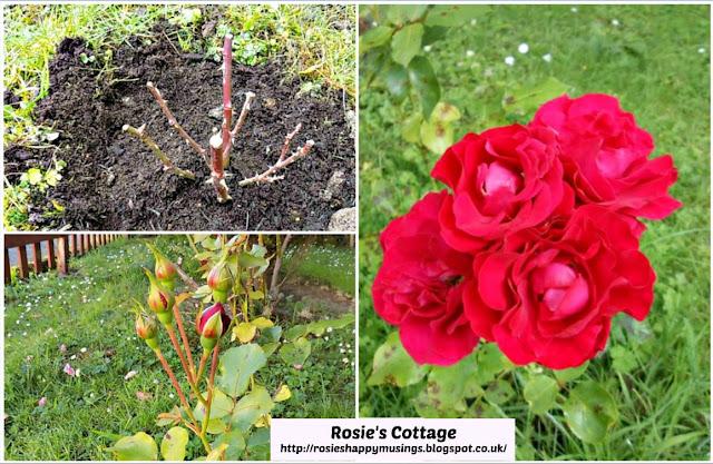 Mum's Roses