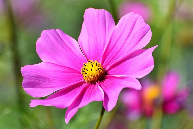 hoa cúc vạn thọ tây đẹp nhất 6