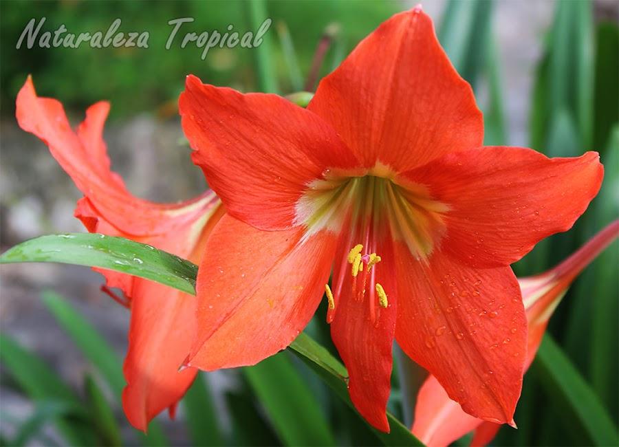 Flor característica del Lirio Naranja, Hippeastrum punicium