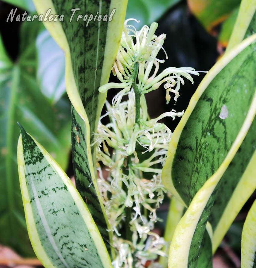 Plantas Lengua de Tigre o Lengua de Suegra florecida, Sansevieria trifasciata