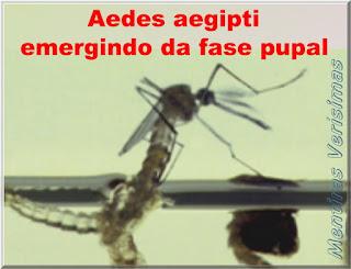 Foto de um mosquito adulto Aedes aegypti emergindo da fase pupal