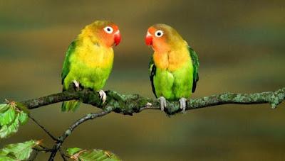 3 Khasiat Dan Manfaat Air Liur Walet Untuk Burung Lovebird Yang Sudah Terbukti