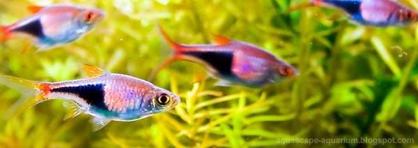 Freshwater Tropical Fish | Rasboras - Aquascape Aquarium ...