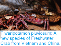 http://sciencythoughts.blogspot.co.uk/2016/08/tiwaripotamon-pluviosum-new-species-of.html