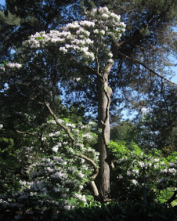 Tree-size rhododendron in bloom, Royal Botanic Garden, Edinburgh, Scotland