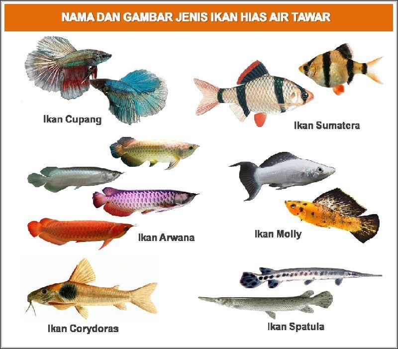 Nama Latin Ikan Hias Air Tawar Dan Gambarnya