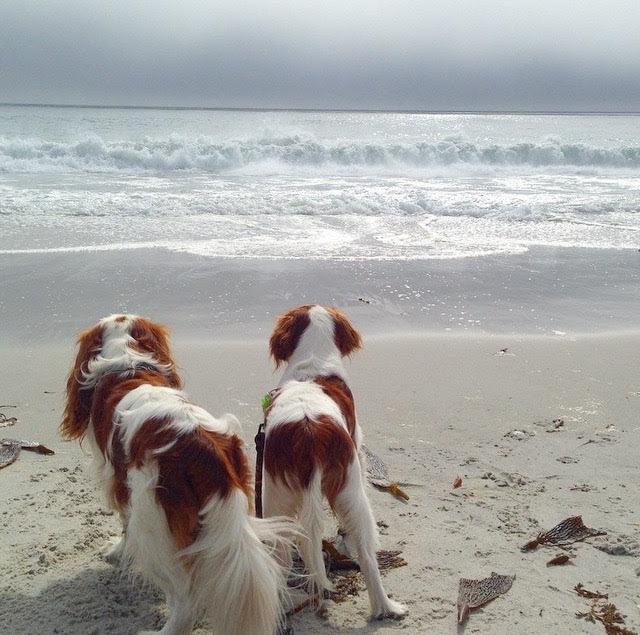 Blenheim Cavalier King Charles Spaniels on beach in Carmel, California
