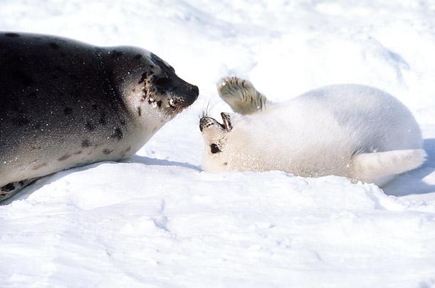 Adult harp seal, erotic teen high res free