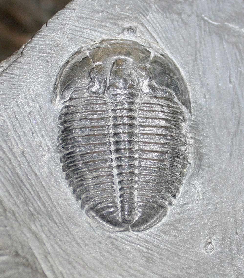 Paleozoic Era Cambrian Period Fossils