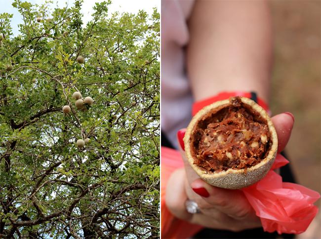 jabłko drewniane, feronia słoniowa, egzotyczny owoc Sri Lanki