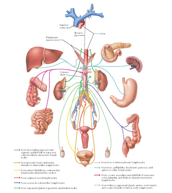 Abdominal and Pelvic Lymphatics: Schema Anatomy