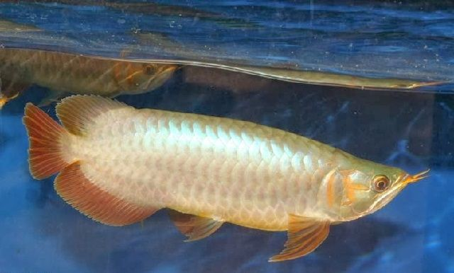 Penyakit Ikan Arwana