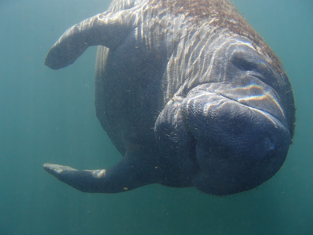 manatee rolling over