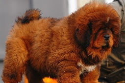 Tibetan Mastiff for Sale is Worth Purchased