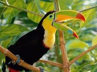33 Fakta Menarik Tentang Burung Tukan, Burung Dengan Warna-Warni Dan Paruh Besar