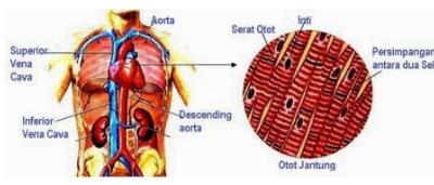 Pengertian Otot Jantung Dan Fungsinya Serta Ciri Cirinya