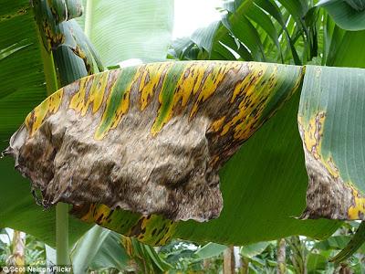 Productores de plátanos denuncian sigatoka esta acabando con sus plantaciones
