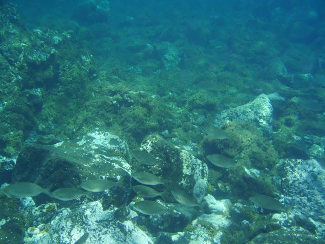 Goldstrieme - Sarpa salpa (Dorade) © Canarian Sea 03