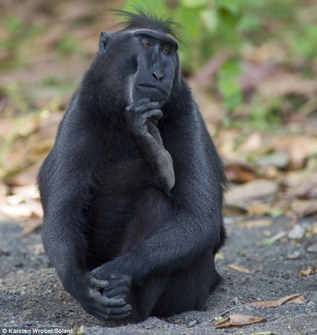 Plotting his next move... Monkey adopts 'Thinker' pose as ...