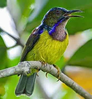 Kolibri Kelapa burung kecil penghisap madu