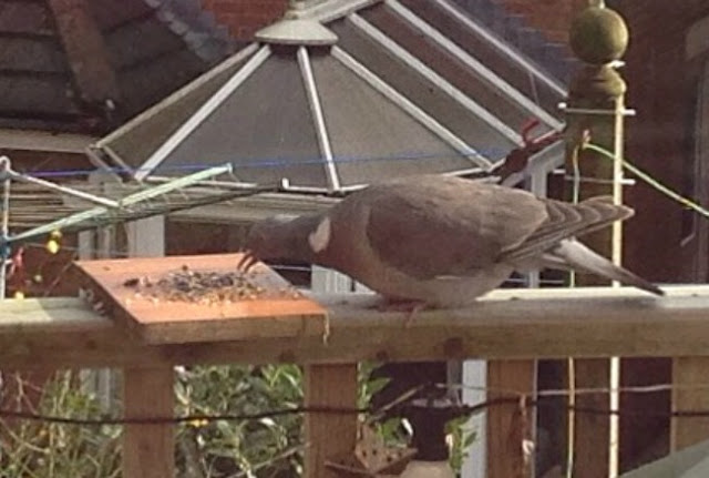 pigeon eating seeds