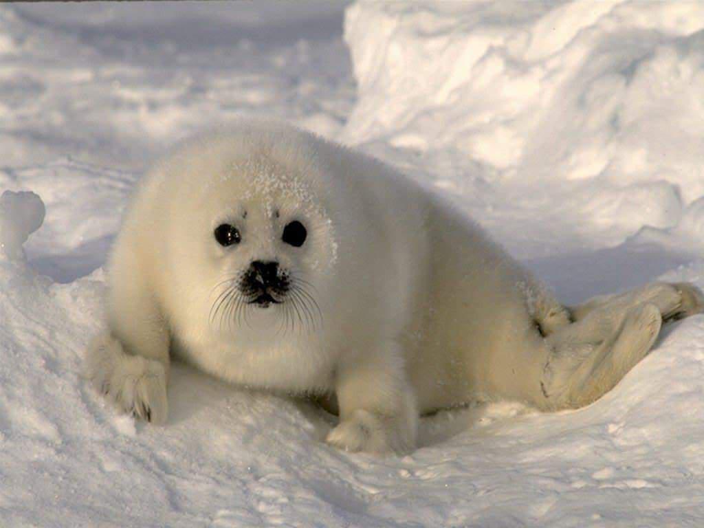 Harp Seal - photo#17