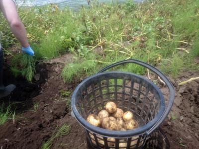 キタアカリの収穫