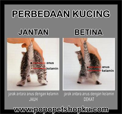 perbedaan kucing jantan dan betina