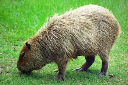Fakta & Informasi Menarik Tentang Kapibara, Hewan Pengerat Terbesar yang Masih Ada di Dunia