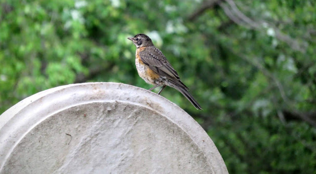 American Robin on a grave at Mount Auburn Cemetery in Cambridge, Massachusetts