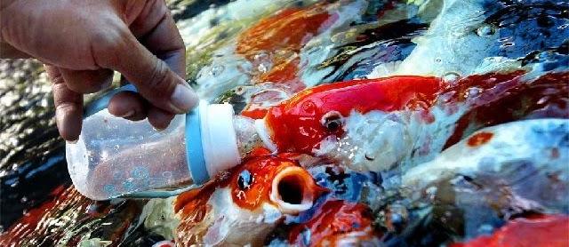 Pakan Alami Ikan Koi Agar Cepat Besar