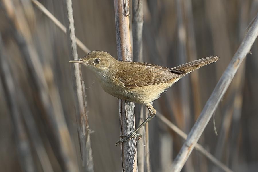Eurasian (Caspian) Reed Warbler