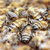 Homem morre após ataques de abelhas em Barbalha