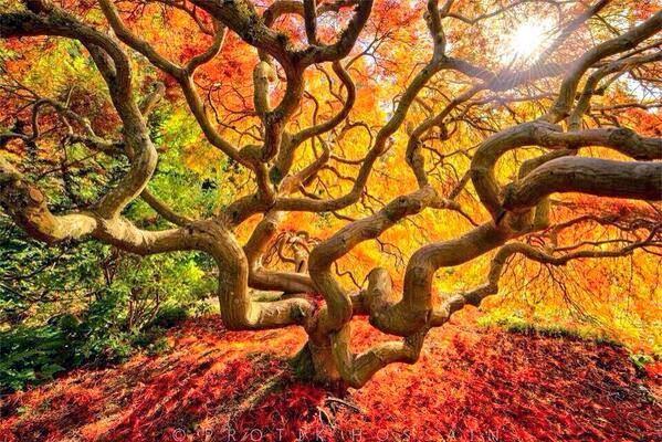 شجرة القيقب اليابانية..